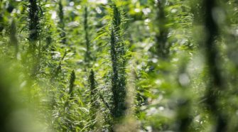 Speakers tell of economic benefits of hemp production in Nebraska - Grand Island Independent