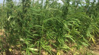 Industrial Hemp, UK Industrial Hemp Research Farm