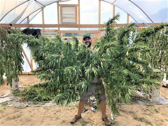State's first hemp harvest exceeds what farmers can market - Alton Telegraph