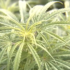 State officials are proposing new rules that would regulate growing hemp - WABI