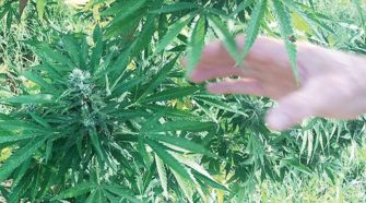State's hemp program set to move forward - Florida Courier