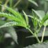 Supervisors to consider extending hemp ban for a year - Eureka Times-Standard