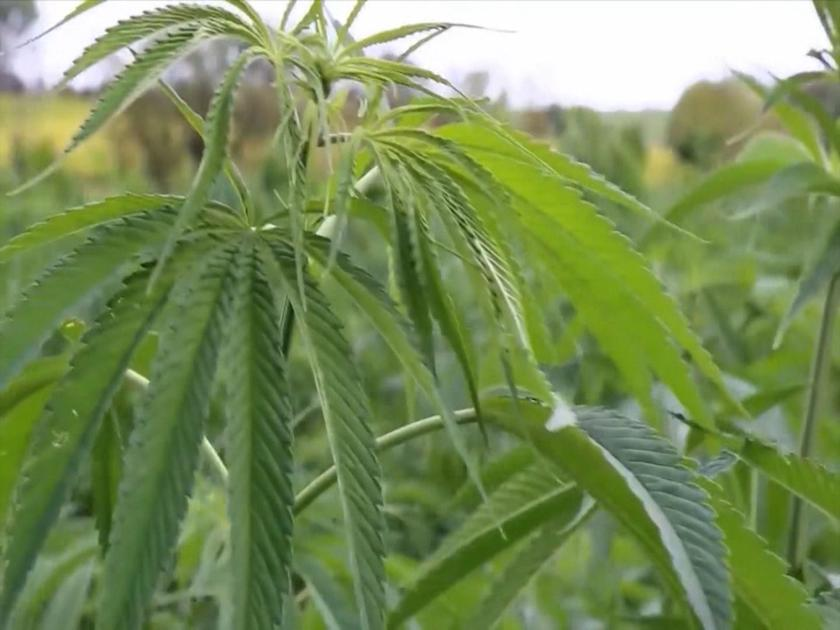 Taking a look at Hemp in the Treasure State for 2020 - ABC FOX Montana