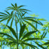 Tests Find Some Early Arizona Hemp Crops Have Too Much THC - KNAU Arizona Public Radio