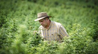 These are nervous times for some farmers as first big hemp harvest approaches - LancasterOnline