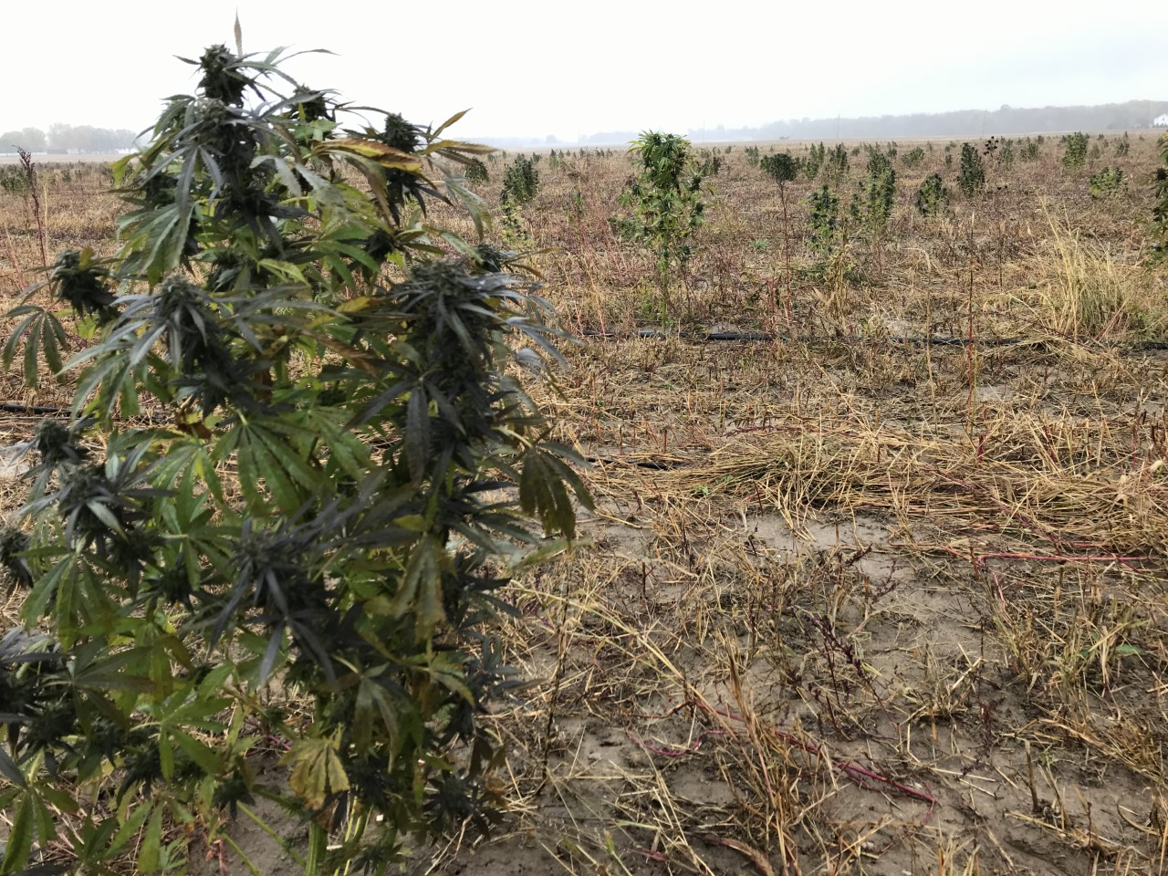 Thieves mistaking industrial hemp plants for marijuana - WNDU-TV