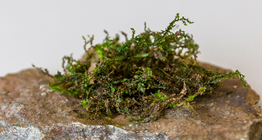 This mossy plant may be 'more medically effective than cannabis'
