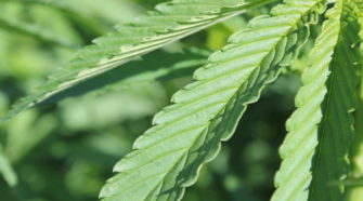 USDA Approves New Regulations For Montana Hemp Producers - MTPR