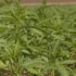 USDA approves development of hemp for Turtle Mountain Band of Chippewa - KFYR-TV