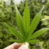 USDA hemp rules give growers leeway - The CT Mirror