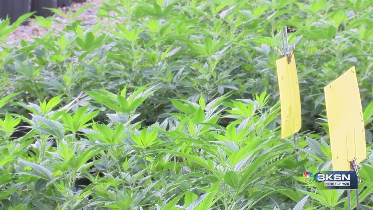USDA launches new programs to help hemp farmers better insure their crop - KSN-TV
