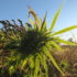 USDA pilot program makes hemp crops eligible for insurance - LVB - Lehigh Valley Business