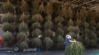 USDA program welcomed by Illinois industrial hemp advocates - The Southern
