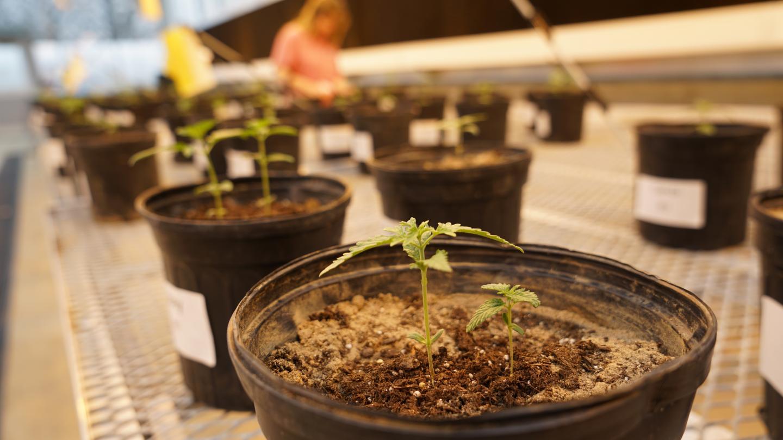 UTIA and Blühen Botanicals to collaborate on hemp production research - EurekAlert