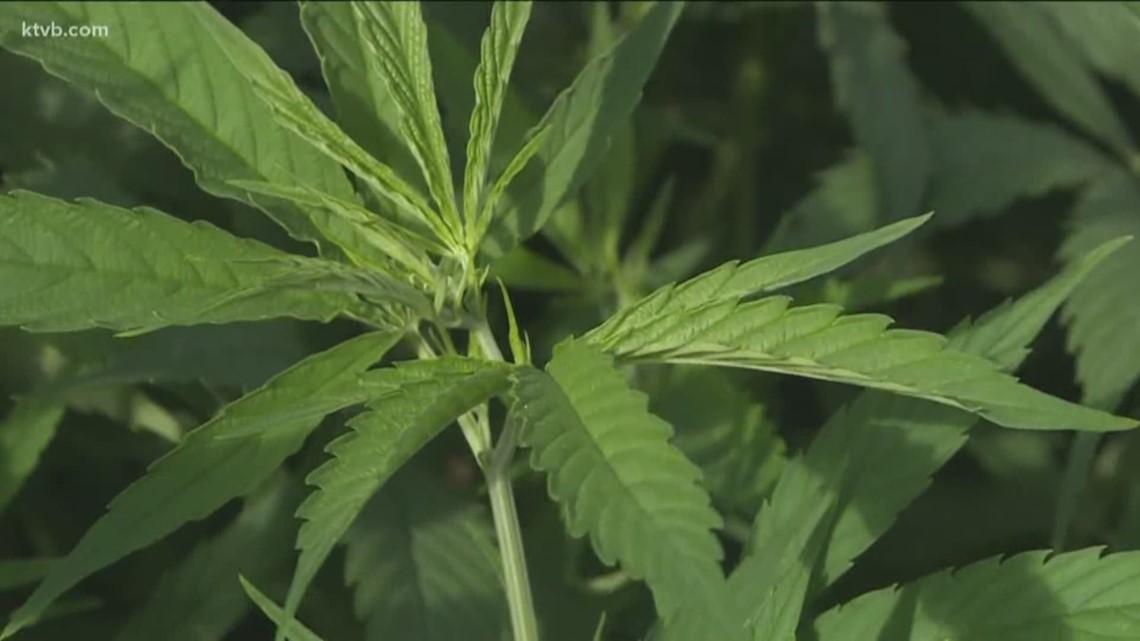 Uneven handling of hemp in Idaho cases raises questions, but few answers - KTVB.com