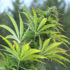 Upstate NY hemp farmer thinks thieves are mistaking his crop for marijuana - WLS-TV
