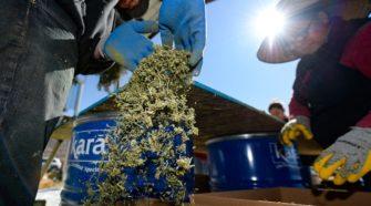 Utah farmers say their first year growing hemp was a trip into the 'Wild West' - Salt Lake Tribune