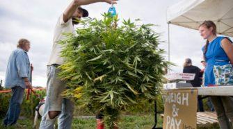 Whitefield hemp farmers dropped by insurer, bank - Press Herald