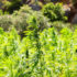 Will Hemp be Illinois' Next Billion-Dollar Bumper Crop? - WTTW News