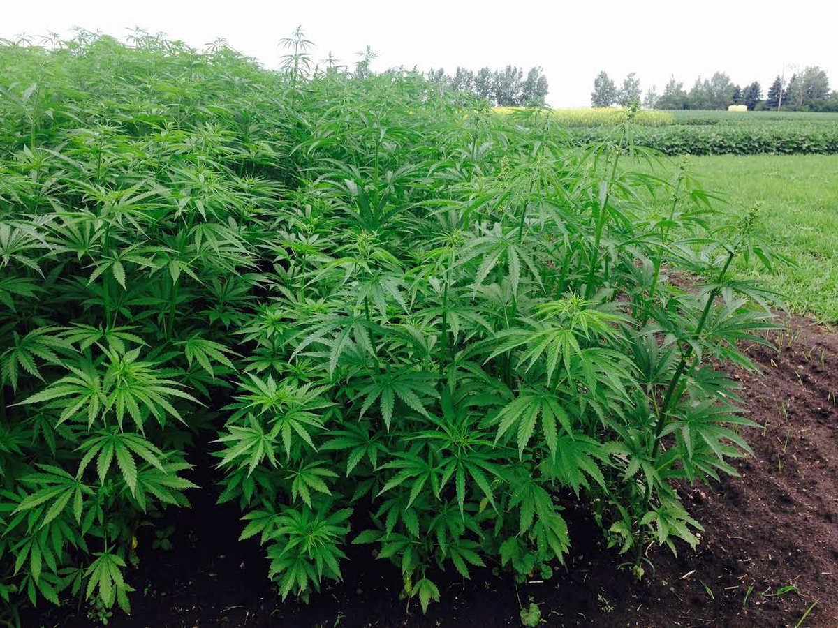"Wisconsin ""harmonizes"" hemp laws with federal regulations - WSAU News"