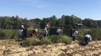 With tobacco sales down, farmers jumping on the hemp train - WSET