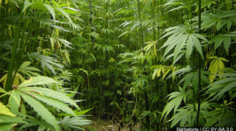 You can learn how to grow hemp in Iowa and get a degree in it - KWQC-TV6