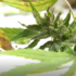 new First harvest of industrial hemp underway - newschannel20.com